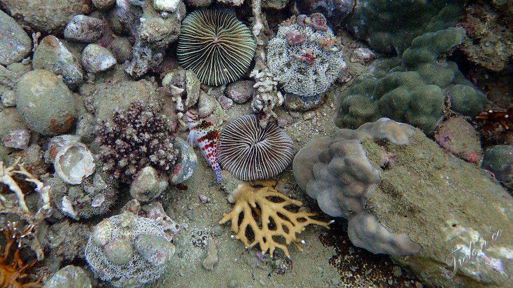 Poisson et coraux