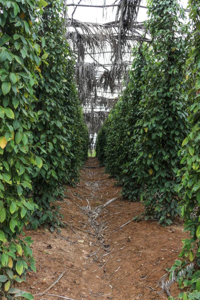 arbres à poivre