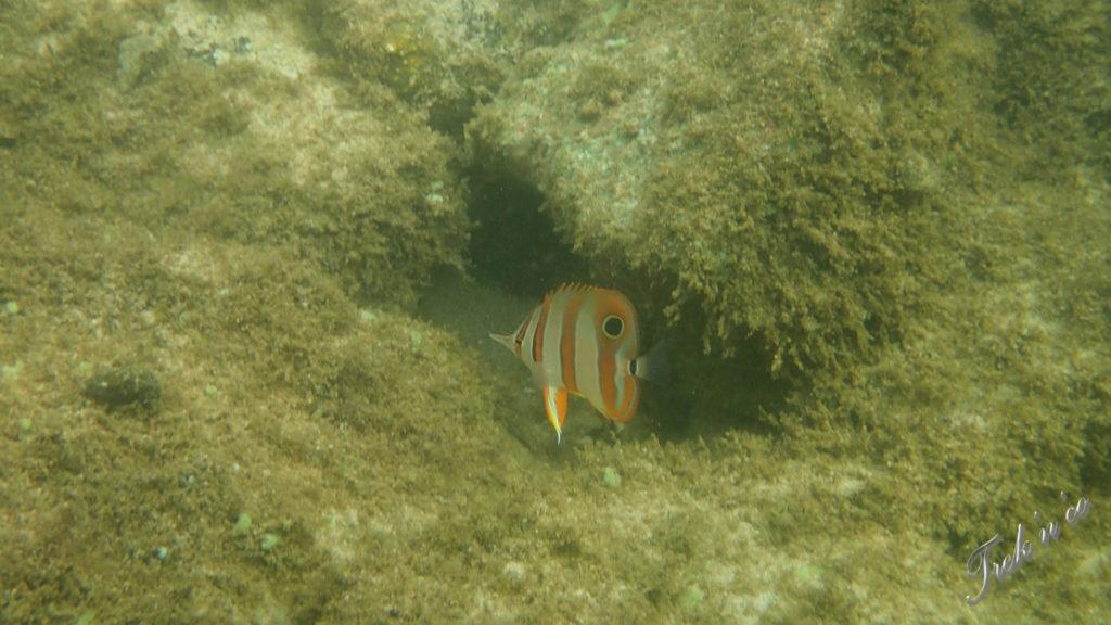 Fish snorkeling Koh Tonsay