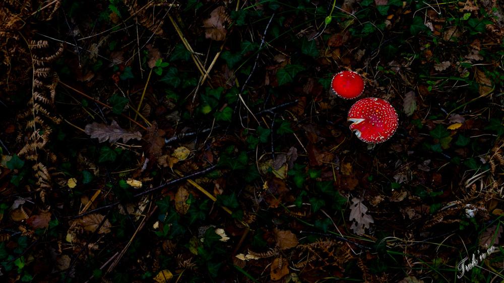 champignons_broceliande